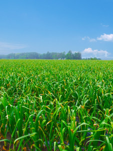 青森県のにんにく畑 収穫期